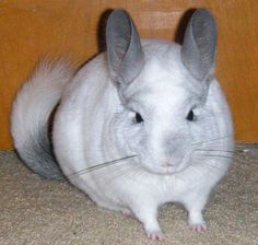 a chinchilla as a pet