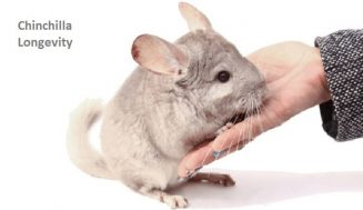 Chinchilla Lifespan and 10 Tips to Prolong your Chin's Life