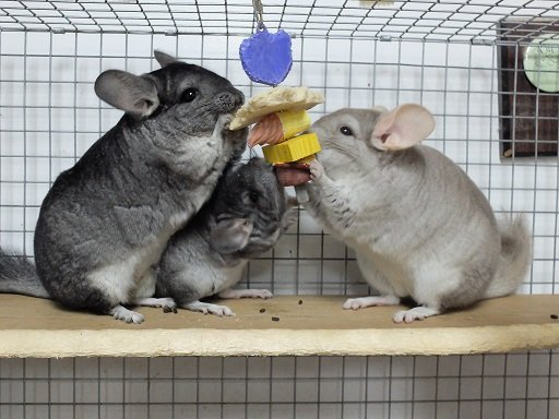 How Much Does a Chinchilla Cost