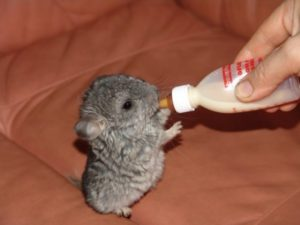 adopt a chinchilla baby