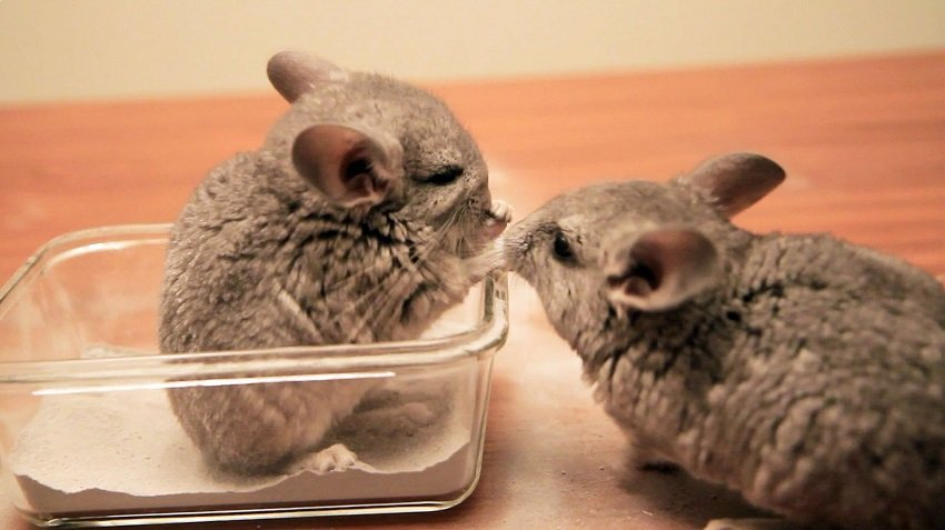 Chinchilla Reproduction Facts