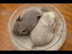 chinchilla dust bath