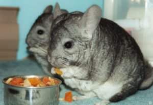 good chinchilla food