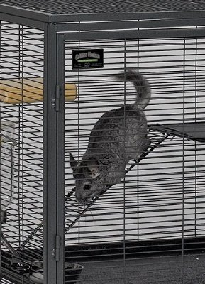 chinchilla in cage