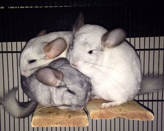 bonding chinchillas