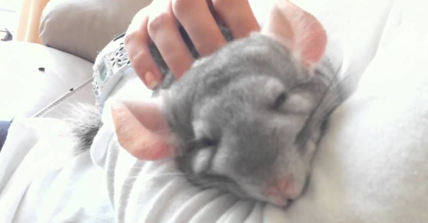 Do Chinchillas Want to Cuddle With You? - Chin Care Group
