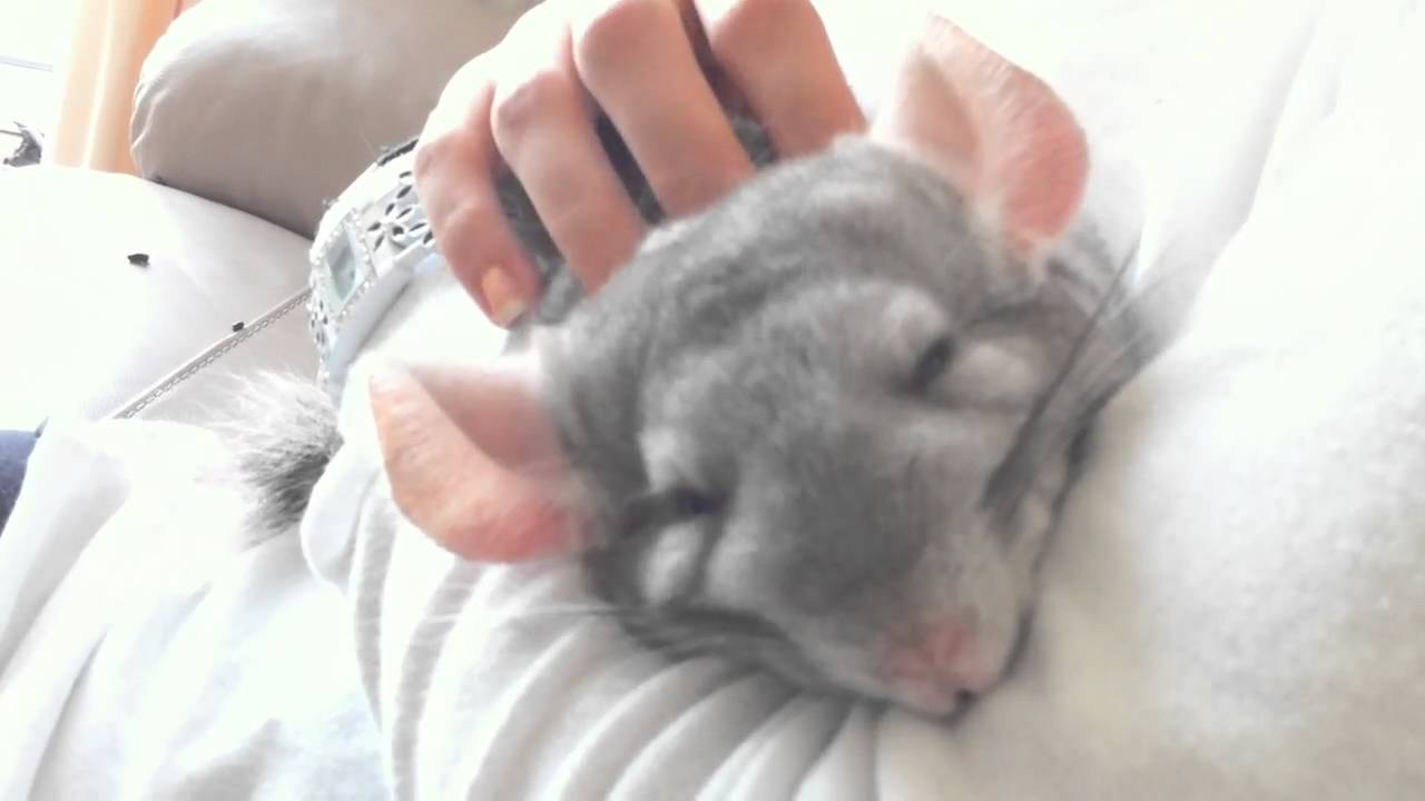 Chinchillas Cuddle With You
