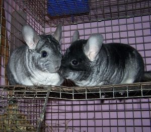 Can Male Chinchillas Live Together