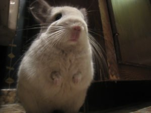 chinchilla carrots 2