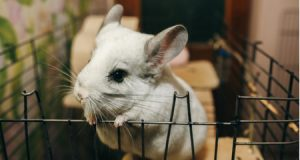 chinchilla-cage-1