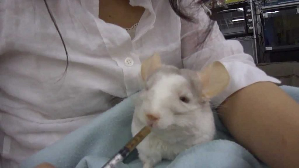 chinchilla critical care