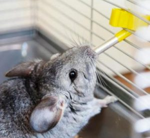 chinchilla drinking water