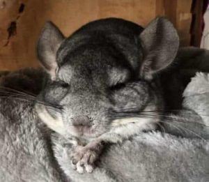 chinchillas can be depressed