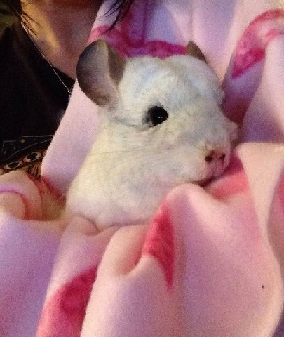 chinchilla in blanket