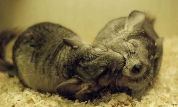chinchilla playing
