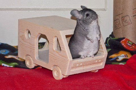 chinchilla playtime