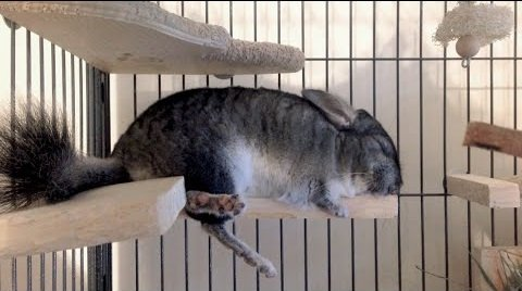 chinchilla depressed and sleeping