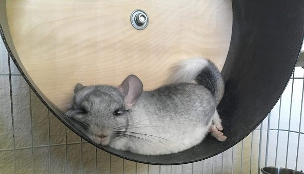 chinchilla tired after exercise