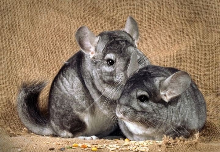 chinchillas fighting or playing