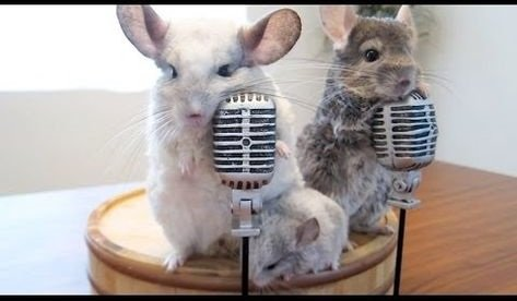 chinchillas playing with microphones