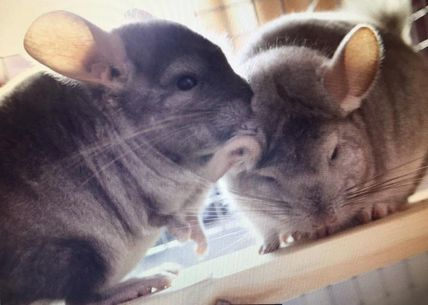 do chinchillas fight