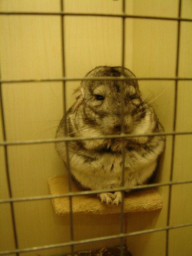 lonely chinchilla