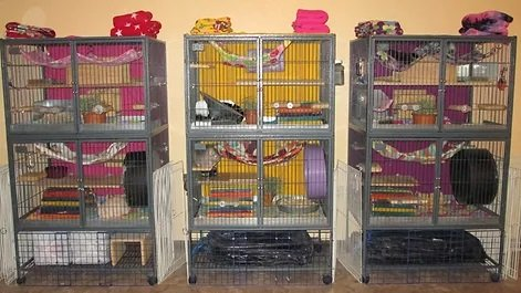 separate chinchillas