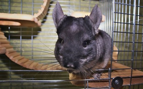 talking to chinchilla in cage