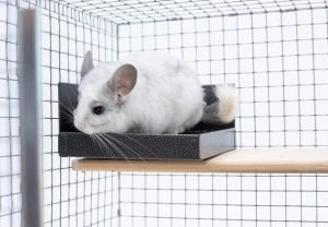 How To Clean Chinchilla Cage