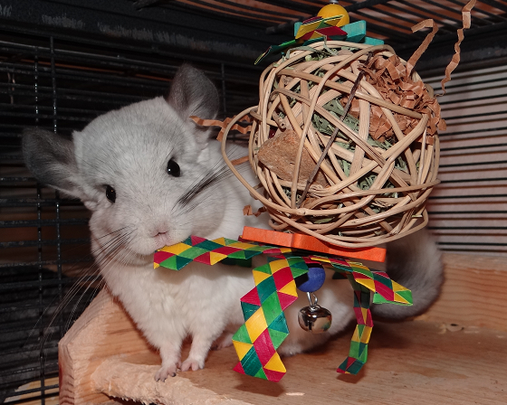 chinchilla chewing toy helps prevent eye problems