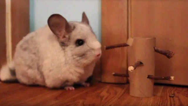 chinchilla toilet roll with apple sticks