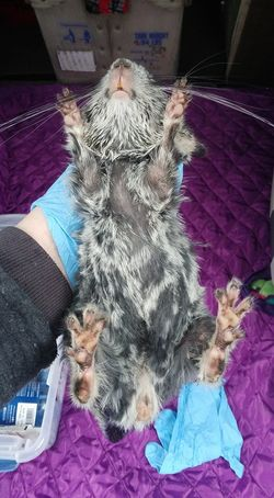 chinchilla urine stained fur