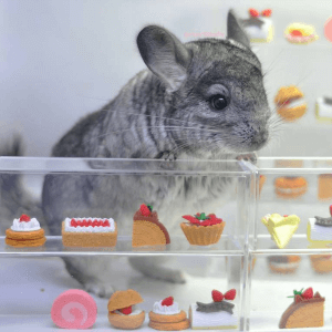 happy chinchilla