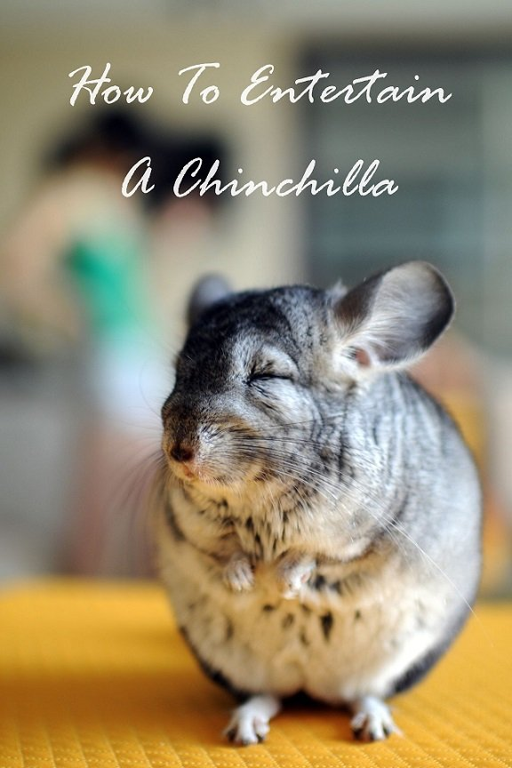 how to make your chinchilla happy