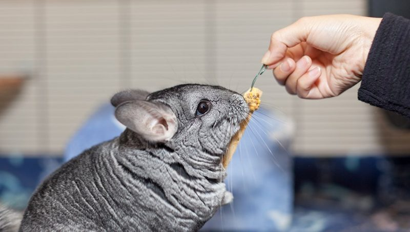 adorable cute chinchilla