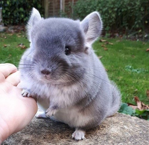 Chilled Chinchillas Have Beautiful Fur