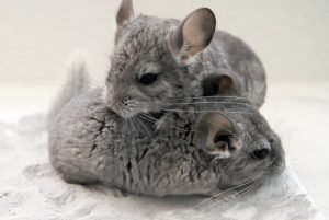 dust baths chinchilla