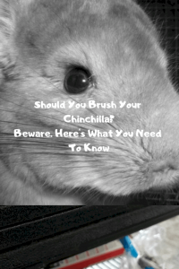 should-you-brush-a-chinchilla