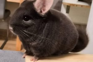 Chinchilla Is At A Healthy Weight