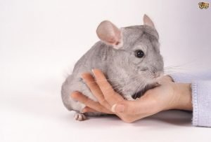 How Do I Keep My Pet Chinchilla