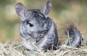 Where Can You Find Wild Chinchillas Today