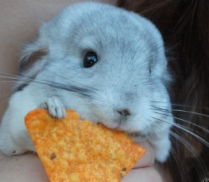 Your Chinchilla Is What It Eats