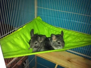 chinchilla hammock