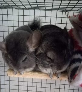 Keep Your Chinchilla In A Cage By Itself