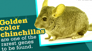 golden color chinchilla