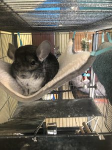hammocks for chinchillas