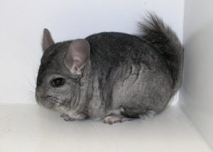 chinchillas have a lot of fur