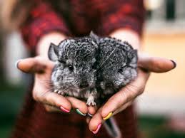 Do Chinchillas Live For A Long Time?