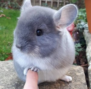 Does chinchilla pee smell