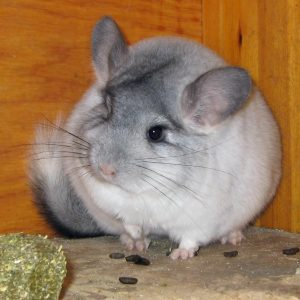 How Do I know If My Chinchilla Can Eat Lettuce?